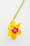 όμορφοι νάρκισσοι κίτρινοι Στοκ φωτογραφίες με δικαίωμα ελεύθερης χρήσης