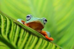 Όμορφοι πετώντας βάτραχοι μεταξύ των πράσινων φύλλων Στοκ Εικόνες
