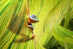 Όμορφοι πετώντας βάτραχοι μεταξύ των πράσινων φύλλων Στοκ εικόνες με δικαίωμα ελεύθερης χρήσης