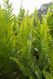 Όμορφοι πράσινοι μίσχοι και φύλλα φτερών Πτεριδόφυτα Στοκ Φωτογραφίες