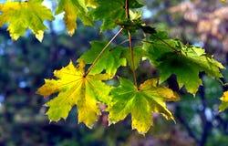 Όμορφοι πράσινος και κίτρινος βγάζει φύλλα Στοκ εικόνες με δικαίωμα ελεύθερης χρήσης