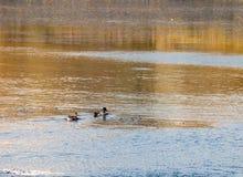 Όμορφοι πρασινολαίμες αρσενικοί και θηλυκό που κολυμπά στην επιφάνεια λιμνών Στοκ φωτογραφία με δικαίωμα ελεύθερης χρήσης