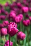 Όμορφοι τομείς τουλιπών σε Lisse στις Κάτω Χώρες Στοκ φωτογραφίες με δικαίωμα ελεύθερης χρήσης