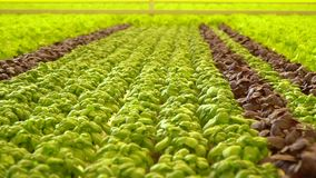 Όμορφοι υγιείς σπανάκι, βασιλικός και μαρούλι στο θερμοκήπιο φιλμ μικρού μήκους