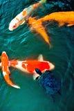 Όμορφοι χρωματισμένοι zen κυπρίνοι που κολυμπούν με τη χελώνα Στοκ Εικόνες