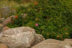 Όμορφος άγριος αυξήθηκε σε ένα φυσικό υπόβαθρο Στοκ Φωτογραφία