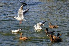 Όμορφος άσπρος γλάρος που πετά πέρα από το νερό στοκ φωτογραφία με δικαίωμα ελεύθερης χρήσης