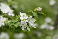 Όμορφος άσπρος και ρόδινος ανθίζοντας κλάδος του μήλου στοκ εικόνα