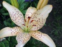Όμορφος άσπρος και τρυφερός κρίνος λουλουδιών στον κήπο στοκ εικόνα με δικαίωμα ελεύθερης χρήσης