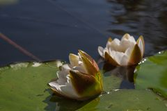 Όμορφος άσπρος κρίνος νερού λουλουδιών στοκ εικόνα με δικαίωμα ελεύθερης χρήσης