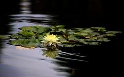 Όμορφος άσπρος κρίνος νερού στη λίμνη Στοκ εικόνα με δικαίωμα ελεύθερης χρήσης