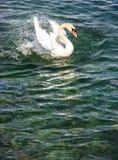 Όμορφος άσπρος κύκνος που χτυπά τα φτερά του στο υπόβαθρο λιμνών Στοκ Εικόνες
