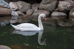 Όμορφος άσπρος κύκνος στη λίμνη με τις πέτρες Στοκ Εικόνα
