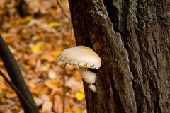 Όμορφος, άσπρος, μη φαγώσιμος μύκητας στον κορμό δέντρων Ένα δηλητηριώδες μανιτάρι αυξάνεται από το φλοιό ενός δέντρου στοκ φωτογραφίες με δικαίωμα ελεύθερης χρήσης