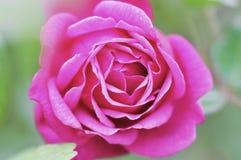 Όμορφος ένας ρόδινος αυξήθηκε σε έναν κήπο Στοκ Εικόνες