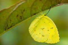 Όμορφος λίγη κίτρινη πεταλούδα Στοκ Εικόνες