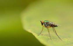 Όμορφος λίγη μύγα Στοκ φωτογραφίες με δικαίωμα ελεύθερης χρήσης