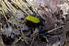 Όμορφος λίγος βάτραχος που αναρριχείται σε Mantella, laevigata Mantella, αδιάκριτο Mangabe, Μαδαγασκάρη Στοκ φωτογραφία με δικαίωμα ελεύθερης χρήσης