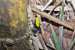 Όμορφος λίγος βάτραχος που αναρριχείται σε Mantella, laevigata Mantella, αδιάκριτο Mangabe, Μαδαγασκάρη Στοκ Φωτογραφία