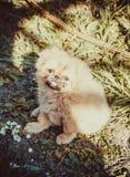 Όμορφος λίγο κουτάβι Pekingese Στοκ φωτογραφίες με δικαίωμα ελεύθερης χρήσης