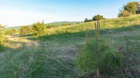 Όμορφος λίγο τοπίο δέντρων πεύκων Στοκ εικόνα με δικαίωμα ελεύθερης χρήσης