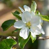 Όμορφος ανθίζοντας κλάδος της κινηματογράφησης σε πρώτο πλάνο δέντρων μηλιάς Στοκ Εικόνα