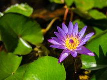 Όμορφος ανθίζοντας λωτός στη λίμνη στοκ εικόνα με δικαίωμα ελεύθερης χρήσης