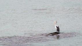 Όμορφος απόμερος πελεκάνος με το ράμφος του ανοικτό σε έναν απομονωμένο βράχο στη μέση της θάλασσας, Penneshaw, νησί καγκουρό, Αυ στοκ εικόνες