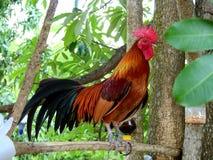 Όμορφος αρσενικός κόκκορας στοκ φωτογραφία
