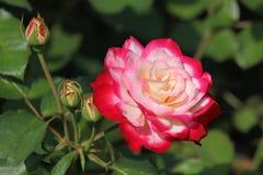 Όμορφος αυξήθηκε άσπρος-ρόδινο χρώμα λουλουδιών στοκ εικόνες