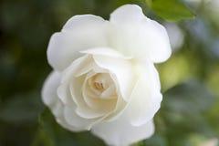 όμορφος αυξήθηκε λευκό Στοκ Εικόνες