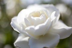 όμορφος αυξήθηκε λευκό Στοκ Φωτογραφίες