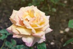 όμορφος αυξήθηκε κίτρινος Στοκ εικόνα με δικαίωμα ελεύθερης χρήσης