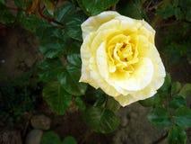 όμορφος αυξήθηκε κίτρινος Στοκ φωτογραφίες με δικαίωμα ελεύθερης χρήσης