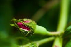Όμορφος αυξήθηκε λουλούδι οφθαλμών με τις πτώσεις στοκ εικόνες με δικαίωμα ελεύθερης χρήσης