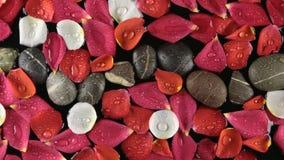 Όμορφος αυξήθηκε πέταλα και οι πέτρες με τη δροσιά ρίχνουν ανθισμένο κοντά από τον αέρα φιλμ μικρού μήκους