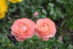 Όμορφος αυξήθηκε πλήρης οικογένεια λουλουδιών Στοκ φωτογραφία με δικαίωμα ελεύθερης χρήσης