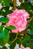 Όμορφος αυξήθηκε σε ένα πάρκο στο υπόβαθρο φύσης στοκ εικόνα