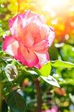 Όμορφος αυξήθηκε σε ένα πάρκο στο υπόβαθρο φύσης στοκ εικόνα με δικαίωμα ελεύθερης χρήσης