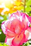 Όμορφος αυξήθηκε σε ένα πάρκο στο υπόβαθρο φύσης στοκ φωτογραφίες