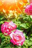 Όμορφος αυξήθηκε σε ένα πάρκο στο υπόβαθρο φύσης στοκ φωτογραφία με δικαίωμα ελεύθερης χρήσης