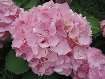 Όμορφος αυξήθηκε στενός επάνω λουλουδιών hydrangea στον κήπο στοκ εικόνα με δικαίωμα ελεύθερης χρήσης