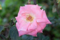 Όμορφος αυξήθηκε στον κήπο Στοκ Εικόνες