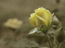 Όμορφος αυξήθηκε στο εκλεκτής ποιότητας ύφος Στοκ Φωτογραφίες