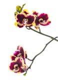Όμορφος βαθύς άνθισης - πορφύρα με το κίτρινο λουλούδι ορχιδεών bandlet Στοκ φωτογραφία με δικαίωμα ελεύθερης χρήσης