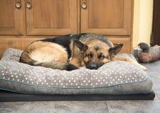 Όμορφος γερμανικός ύπνος σκυλιών Shepard σε ένα comfy κρεβάτι στοκ φωτογραφία