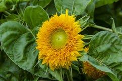 Όμορφος διακοσμητικός ηλίανθος στον κήπο στοκ φωτογραφία με δικαίωμα ελεύθερης χρήσης