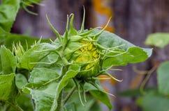 Όμορφος διακοσμητικός ηλίανθος στον κήπο στοκ εικόνες με δικαίωμα ελεύθερης χρήσης