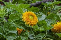 Όμορφος διακοσμητικός ηλίανθος στον κήπο στοκ εικόνα με δικαίωμα ελεύθερης χρήσης