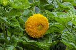 Όμορφος διακοσμητικός ηλίανθος στον κήπο στοκ εικόνες